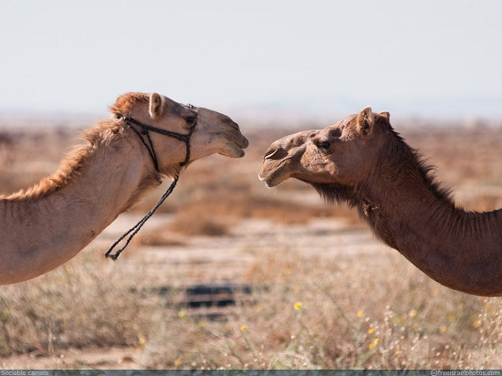 free_israel_photos_animals_two_camels_1024 - small