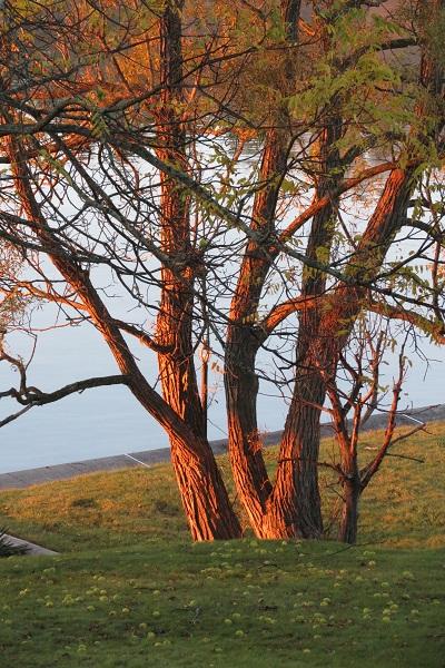 Walnut Tree, October 2014